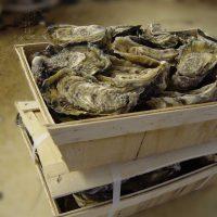 Live Oysters Fines de Claire